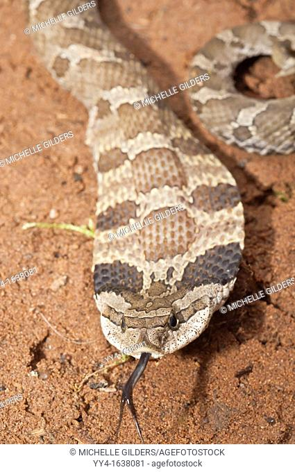 Eastern hognose snake, Heterodon platirhinos, native to eastern North America