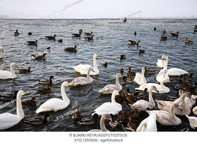 Swans and ducks on Tjornin lake  Downtown Reykjavik Iceland