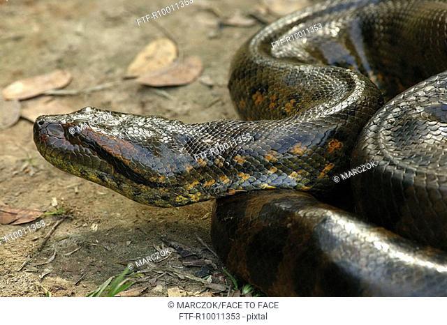 Anaconda, Amazonas, Brazil