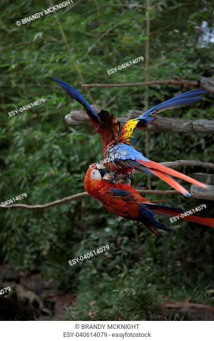 Scarlet macaws playing