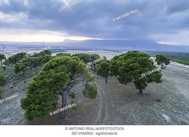 Pine grove in paraje de Jorqueruela. Almansa. Albacete, Castile-La Mancha, Spain