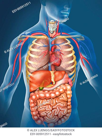 Illustration of the anatomy of the human body are represented prncipales them arteries and veins and organs of the respiratory and digestive