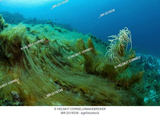 Coral reef overgrown with green algae and seaweed, killing everything underneath, death of corals, Curacao, former Netherlands Antilles, Caribbean