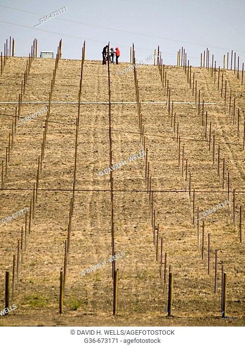 Grapevines being staked for wine near Paso Robles, California, USA