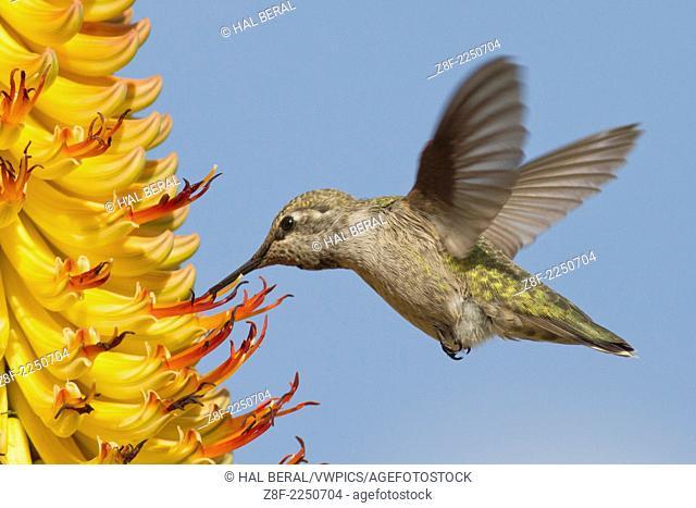 Anna's Hummingbird in flight feeding on a flower.(Calypte anna).Irvine,California
