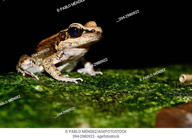 Black striped frog (Sylvirana nigrovittata) in the edge of a pond near Golden Mountain, Bangkok, Thailand