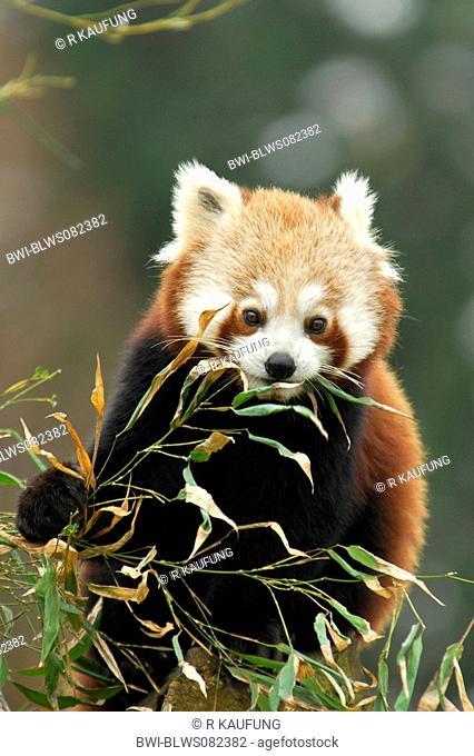 lesser panda, red panda Ailurus fulgens, eating bamboo