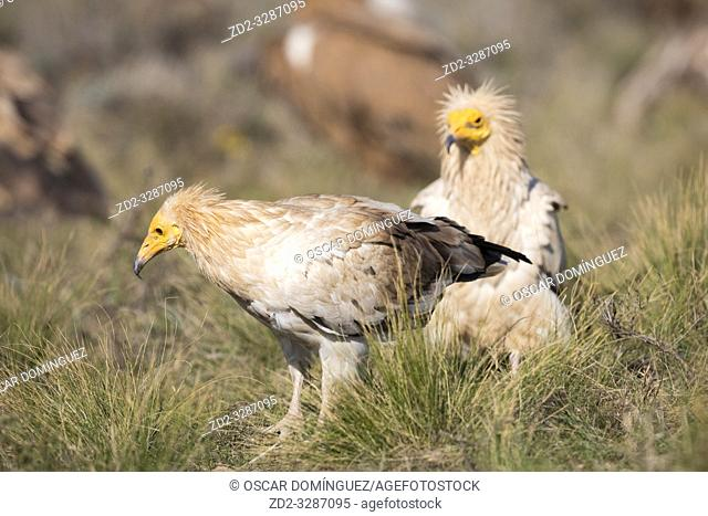 Egyptian vulture (Neophron percnopterus) looking for food. Pre-Pyrenees. Lleida province. Catalonia. Spain. Endangered species