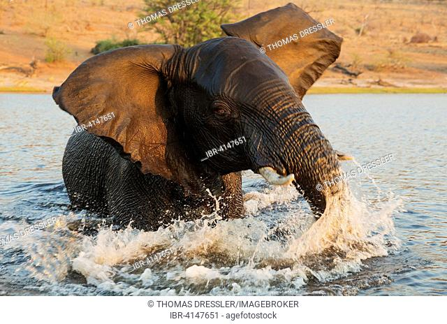 African Elephant (Loxodonta africana), bull in the Chobe River gets angry at the very near boat with the photographer, in the last light of the evening