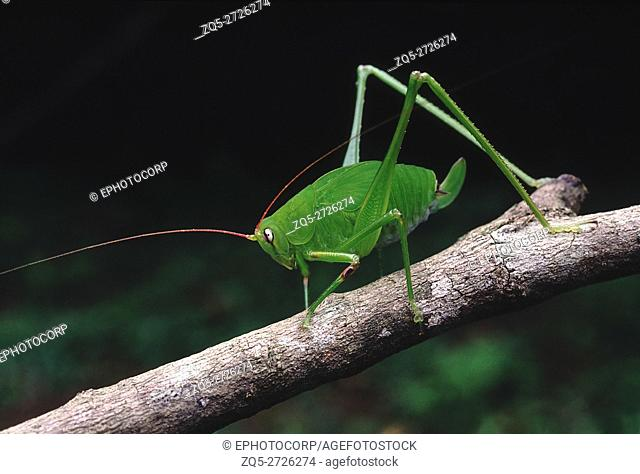 Bush cricket. A cricket with extremely long antennae and hind legs. The body colour blends in well with the greenery of the forest