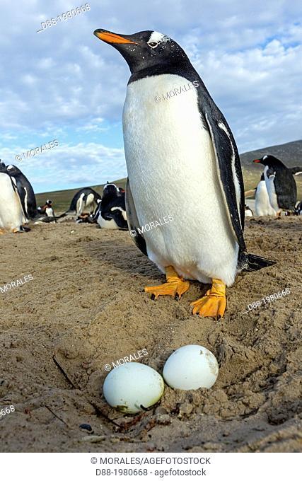 Falkland Islands, Saunders island, The Neck, Gentoo Penguin Pygoscelis papua papua, on the nest with egg