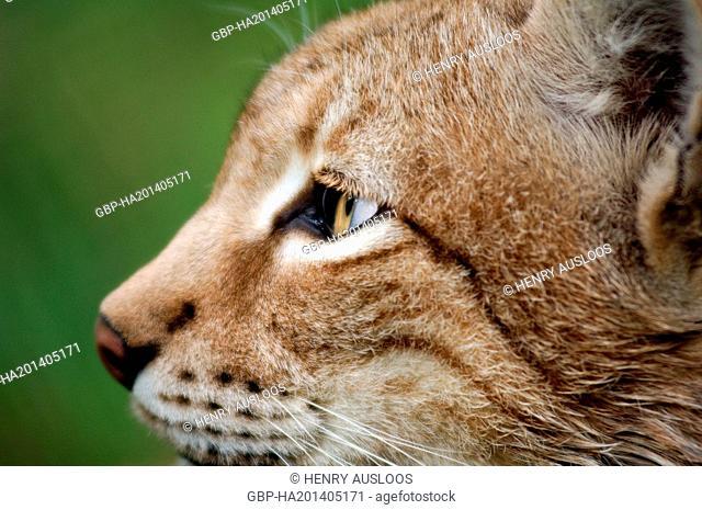 Eurasian lynx, Lynx Sardiniae