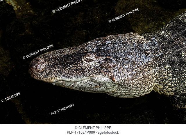 American alligator / gator / common alligator (Alligator mississippiensis) close up of head