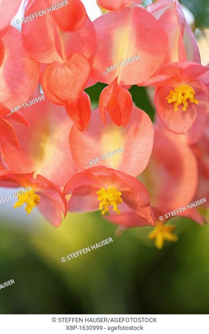 Begonia Begonia corallina 'President Carnot'