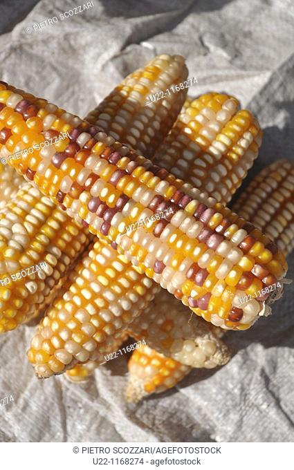 Dili (East Timor): corn sold in a market