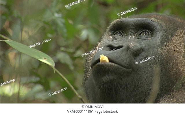 Mikumba the Silverback Western Lowland Gorilla sitting on forest floor eating