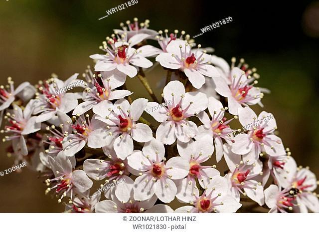 Darmera peltata, Indian rhubarb, Umbrella plant