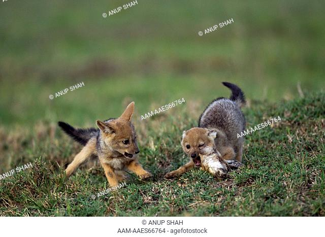 Black-backed jackal five week old pups playing (Canis mesomelas). Maasai Mara National Reserve, Kenya. Aug 2011