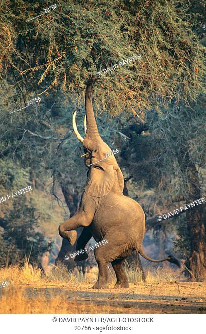 Elephant. Mana Pools NP. Zimbabwe