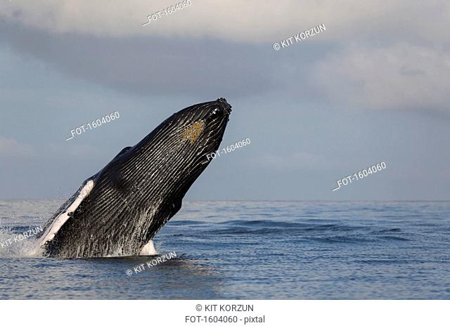 Humpback whale jumping in sea