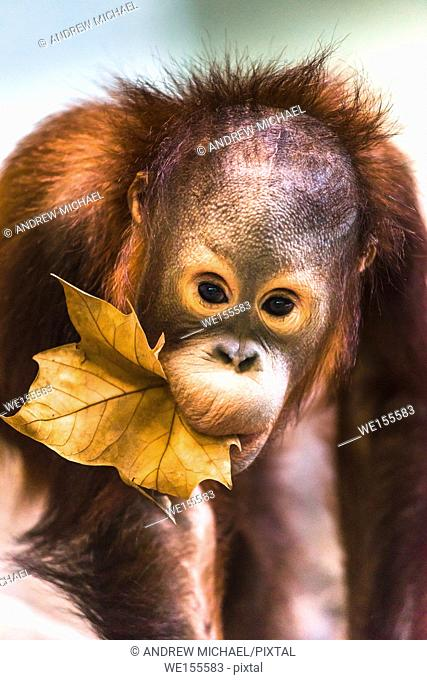 Cute baby orangutan playing. Captive