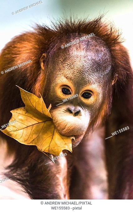 Cute baby orangutan playing. Captive