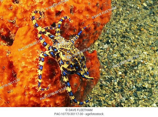 Australia, Venomous Blue Ringed octopus Hapalochlaena maculosa attached to sea sponge