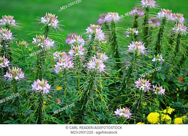 Many cleome in soft focus, Pennsylvania, USA
