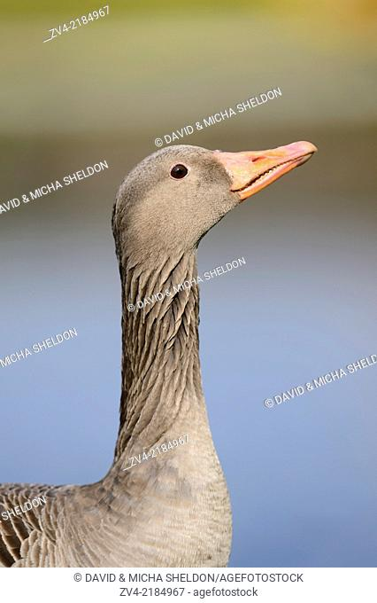 Portrait of a Greylag Goose (Anser anser) on a meadow in spring