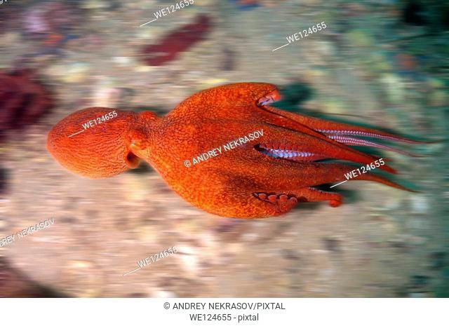 giant Pacific octopus or North Pacific giant octopus (Enteroctopus dofleini) Japan sea, Far East, Primorsky Krai, Russian Federation