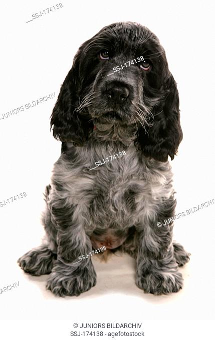 Cocker Spaniel. Single puppy sitting, looking sad. Studio picture against a white background