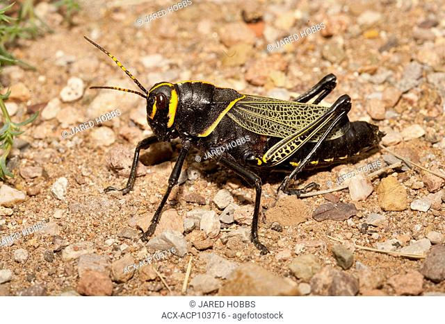Horse Lubber Grasshopper, Taeniopoda eques, Arizona, USA