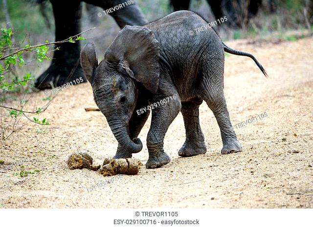 A very young elephant calf playing football with elephant dung
