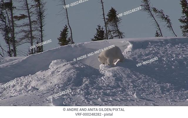 Polar Bear cub (Ursus maritimus) on doorstep of den playing with snow ball