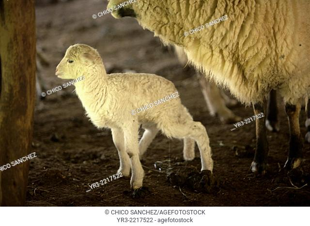 A lamb stands with his mother in a green field in Villaluenga del Rosario, in the Sierra de Grazalema National Park, Cadiz province, Andalusia, Spain