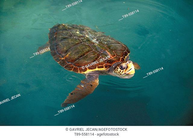 Central America, Panama, Bocas del Toro Islands, Green sea turtle (Chelonia myches)