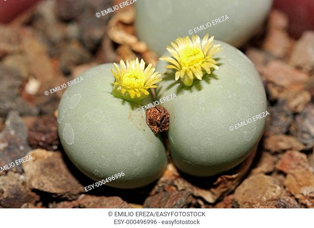 Conophytum calculus ssp. vanzylii