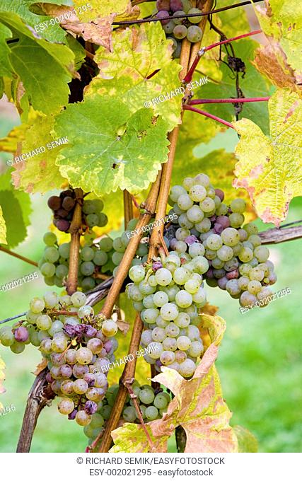 grapes Weiser Riesling, Germany