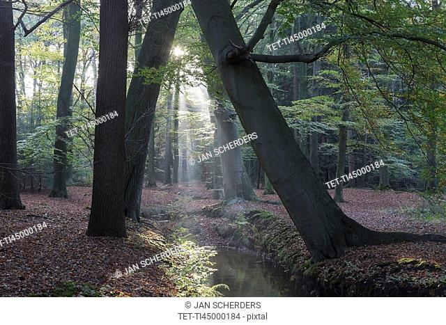 Netherlands, Forest with narrow stream