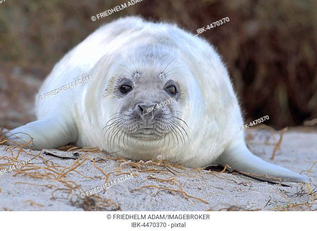 Grey Seal (Halichoerus grypus), pup on beach, portrait, Helgoland, North Sea, Germany
