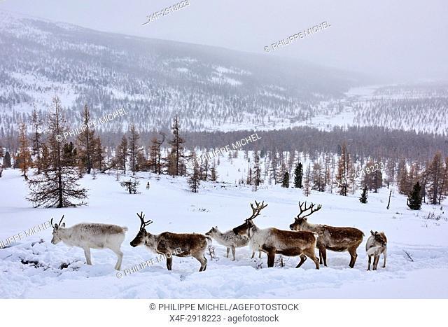 Mongolia, Khovsgol privince, the Tsaatan, reindeer herder, winter migration