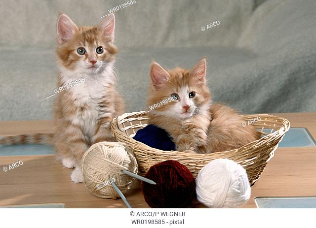 Norwegian, Forest, Cats, kittens, in, basket, with, balls, of, wool