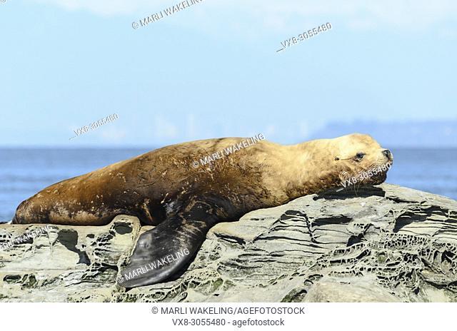 Steller or Northern sea lion, Eumetopias jubatus, Salish Sea, British Columbia, Canada, Pacific. Endangered