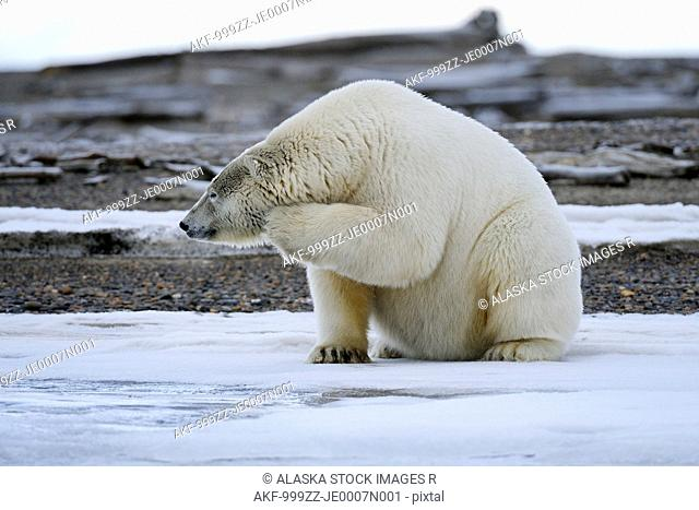 An adult polar bear scratches its chin on a barrier island outside Kaktovik on the northern edge of ANWR, Arctic Alaska, Fall
