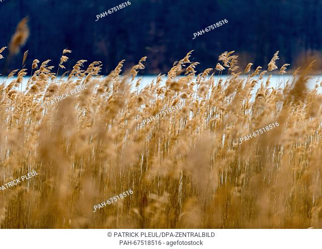 A belt of reed can be seen at the Werbellinsee lake near Joachimsthal, Germany, 11 April 2016. Photo: Patrick Pleul/dpa | usage worldwide
