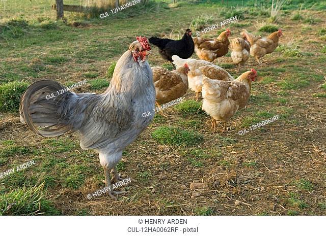 cockerel with hens