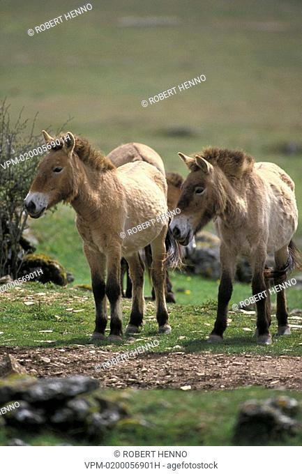 EQUUS PRZEWALSKIIPRZEWALSKI HORSE - MONGOLIAN WILD HORSEPRIMITIVE HORSE FRANCE - CEVENNES