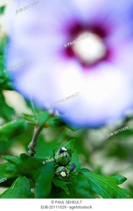 Rose mallow Hibiscus syriacus Blue Bird purple blue flower and buds growing on a shrub against a green background
