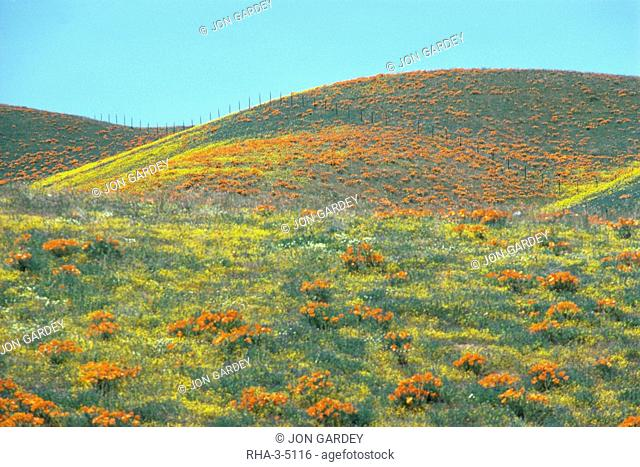Wild flowers, Antelope Valley, California, United States of America, North America