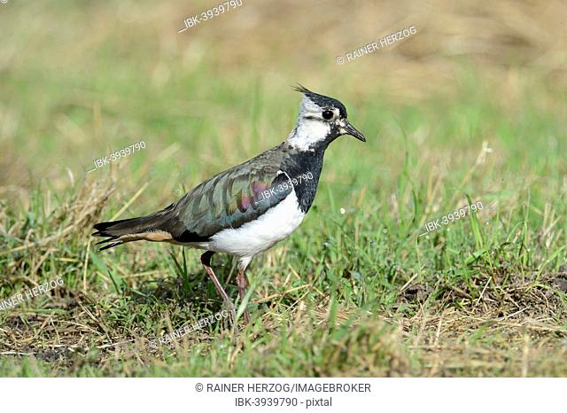 Lapwing (Vanellus vanellus), young, on a meadow, North Rhine-Westphalia, Germany